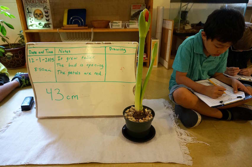 The Lower Elementary class observed the growth of an amaryllis and recorded their observations this year.