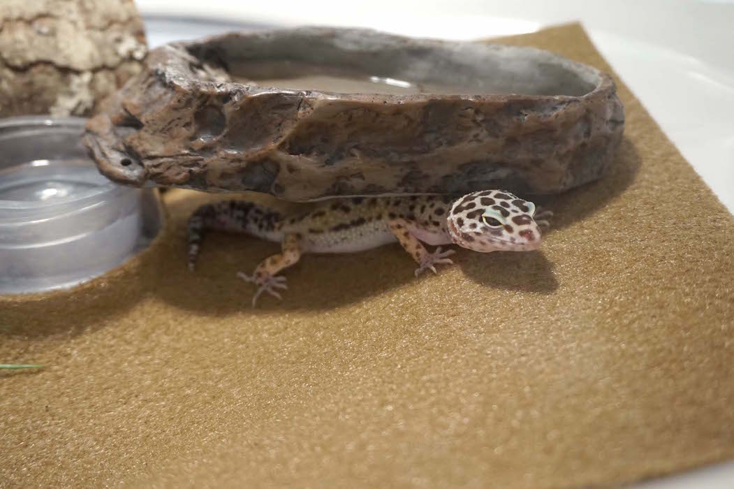 Aura, a leopard gecko, is one of several animals to live in the Lower Elementary classroom.