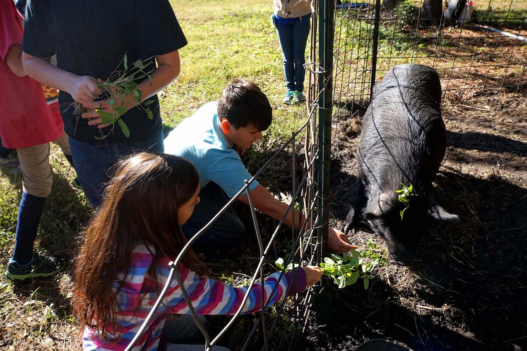 The students feed weeds taken from around the blueberry plants to the two pigs, which enjoyed their feast of betony.