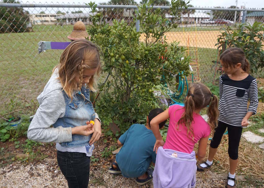 The kumquat tree created a lot of interest, with students and adults, alike, trying to find ripe ones to try.